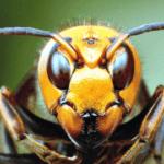 殺戮の限りを尽くす人間顔負けの戦いっぷり!オオスズメバチ同士の縄張り争いドキュメンタリー