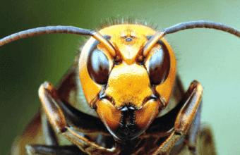 生きる殺人マシン、殺戮の限りを尽くすオオスズメバチ同士の縄張り争いドキュメンタリー