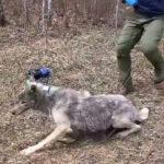 野生のオオカミを捕獲、カメラ装着で解放&生態に密着した主観映像