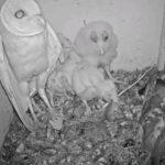 フクロウの巣で産卵したハトさん、親鳥の帰還で修羅場に