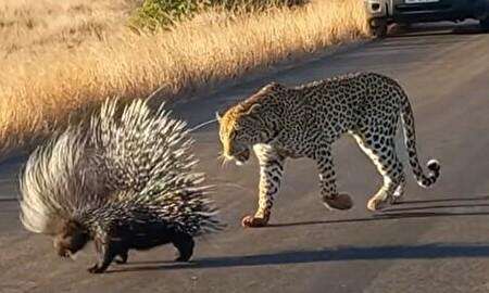 ヤマアラシ VS ヒョウ 圧倒的トゲトゲ防御の前にヒョウが大ダメージ